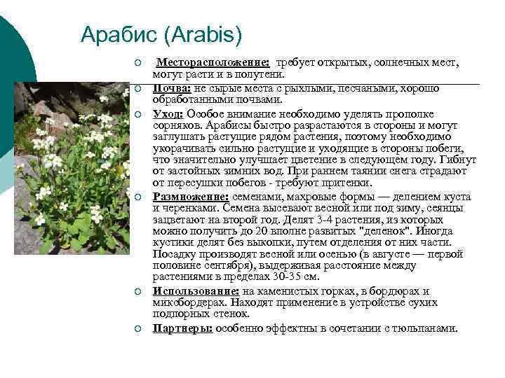 Арабис (Arabis) ¡  Месторасположение:  требует открытых, солнечных мест,  могут расти и