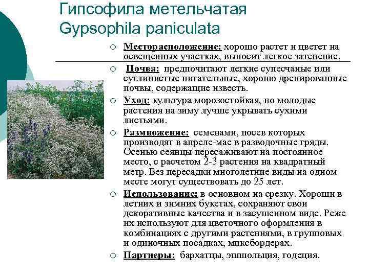 Гипсофила метельчатая Gypsophila paniculata ¡  Месторасположение: хорошо растет и цветет на  освещенных