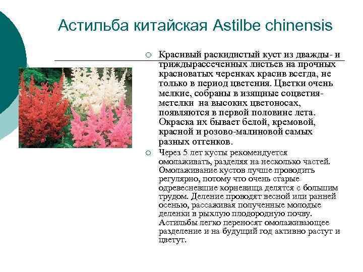 Астильба китайская Astilbe chinensis  ¡  Красивый раскидистый куст из дважды- и