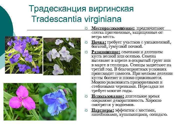 Традесканция виргинская Tradescantia virginiana   ¡  Месторасположение:  предпочитают   слегка