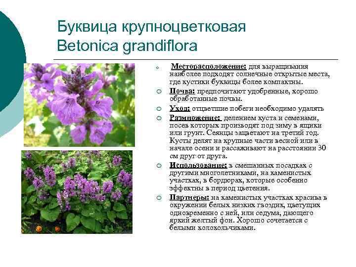 Буквица крупноцветковая Betonica grandiflora   ¡  Месторасположение: для выращивания