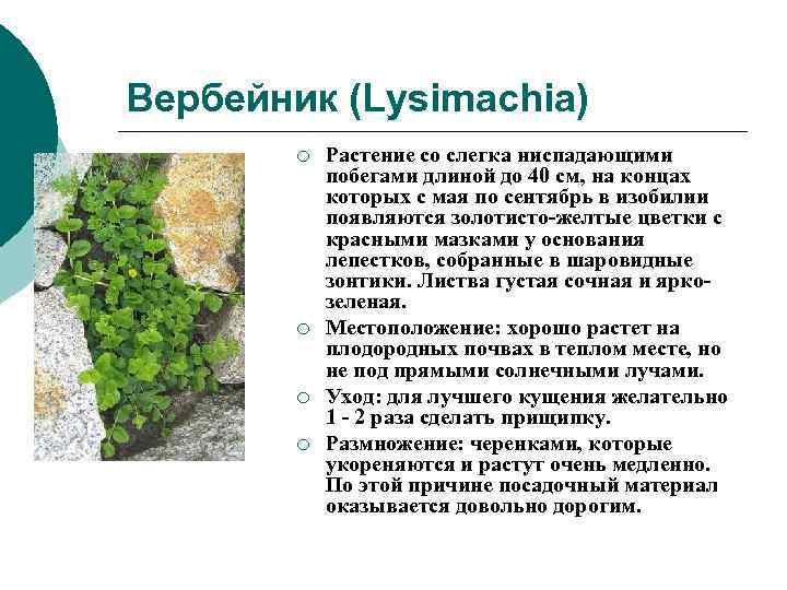 Вербейник (Lysimachia)   ¡  Растение со слегка ниспадающими   побегами длиной