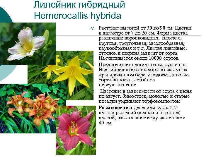 Лилейник гибридный Hemerocallis hybrida   ¡  Растение высотой от 30 до 90