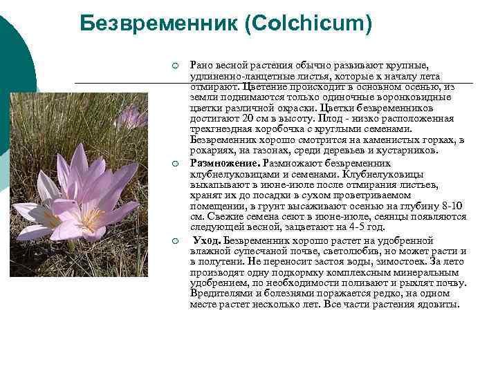 Безвременник (Colchicum)  ¡  Рано весной растения обычно развивают крупные,   удлиненно-ланцетные