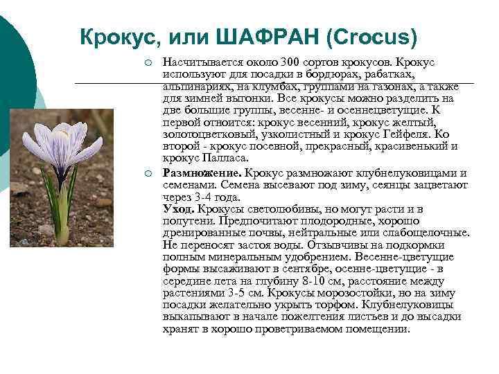 Крокус, или ШАФРАН (Crocus) ¡  Насчитывается около 300 сортов крокусов. Крокус  используют
