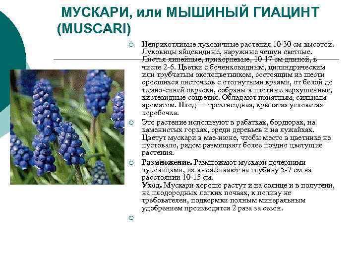 МУСКАРИ, или МЫШИНЫЙ ГИАЦИНТ (MUSCARI)   ¡  Неприхотливые луковичные растения 10