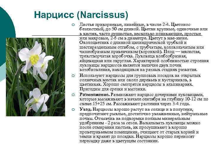 Нарцисс (Narcissus)  ¡  Листья прикорневые, линейные, в числе 2 -4. Цветонос