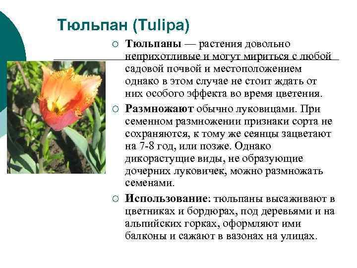 Тюльпан (Tulipa)  ¡  Тюльпаны — растения довольно  неприхотливые и могут мириться