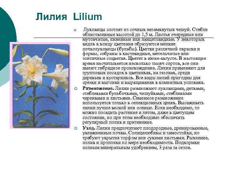 Лилия Lilium  ¡  Луковицы состоят из сочных незамкнутых чешуй. Стебли