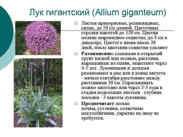 Лук гигантский (Allium giganteum)  ¡  Листья прикорневые, ремневидные,   сизые, до