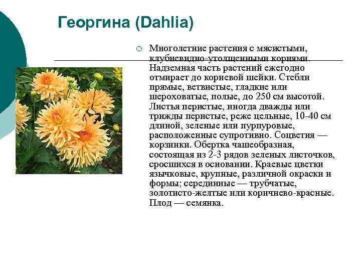 Георгина (Dahlia)   ¡  Многолетние растения с мясистыми,    клубневидно-утолщенными