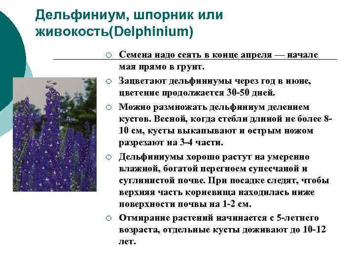 Дельфиниум, шпорник или живокость(Delphinium)   ¡  Семена надо сеять в конце апреля