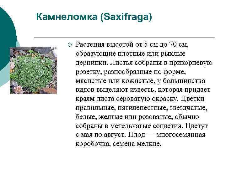 Камнеломка (Saxifraga)  ¡  Растения высотой от 5 см до 70 см,