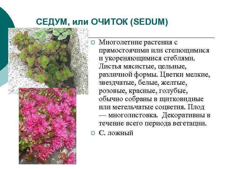 СЕДУМ, или ОЧИТОК (SEDUM)  ¡  Многолетние растения с    прямостоячими