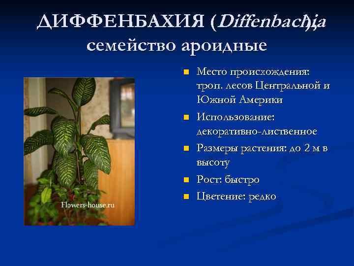 ДИФФЕНБАХИЯ (Diffenbachia    ), семейство ароидные   n  Место происхождения: