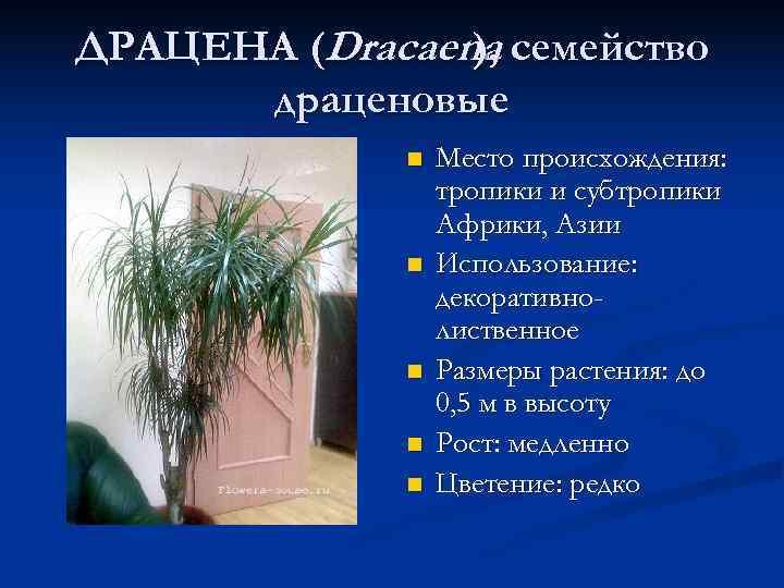 ДРАЦЕНА (Dracaena семейство   ),  драценовые    n  Место