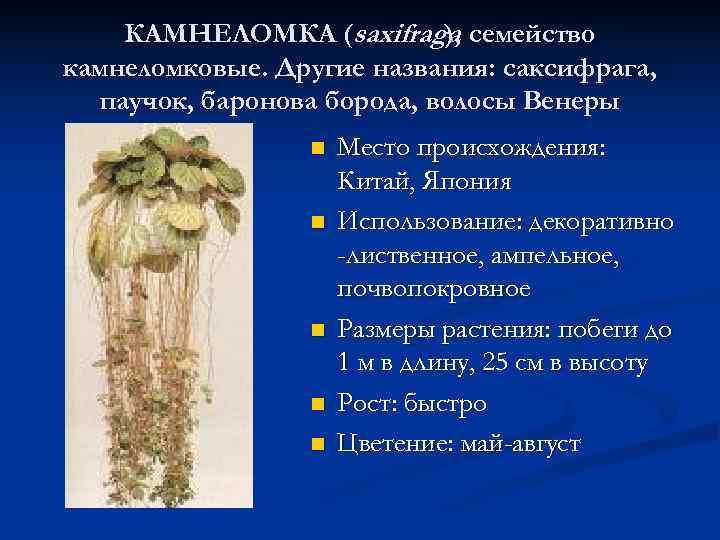 КАМНЕЛОМКА (saxifraga, семейство     ),