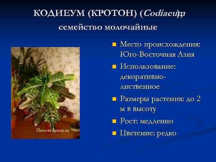КОДИЕУМ (КРОТОН) (Codiaeum     ), семейство молочайные   n