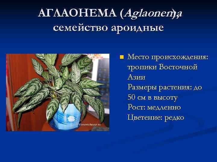АГЛАОНЕМА (Aglaonema ),  семейство ароидные   n  Место происхождения: