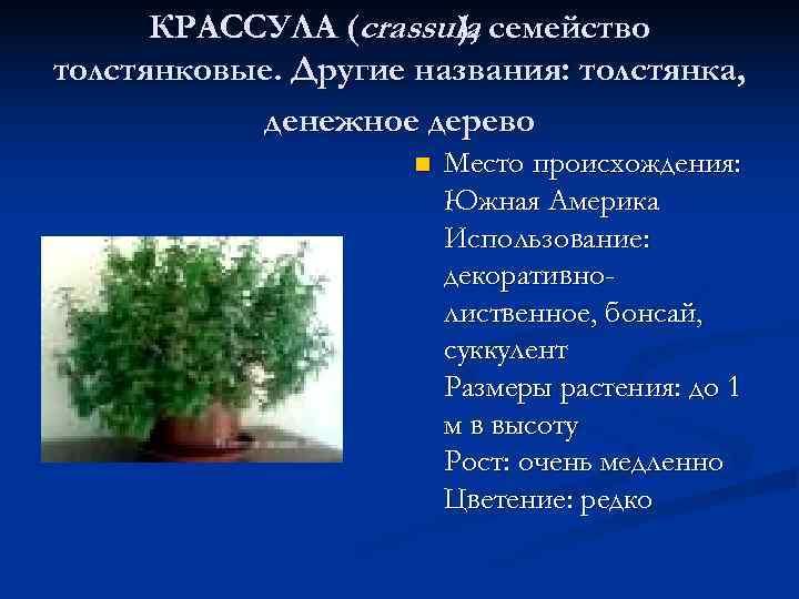 КРАССУЛА (crassula семейство    ), толстянковые. Другие названия: толстянка,