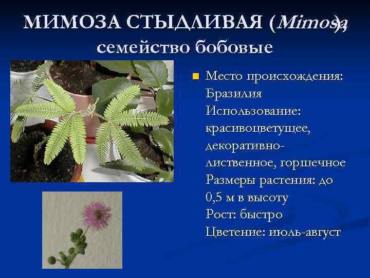 МИМОЗА СТЫДЛИВАЯ (Mimosa    ), семейство бобовые   n  Место