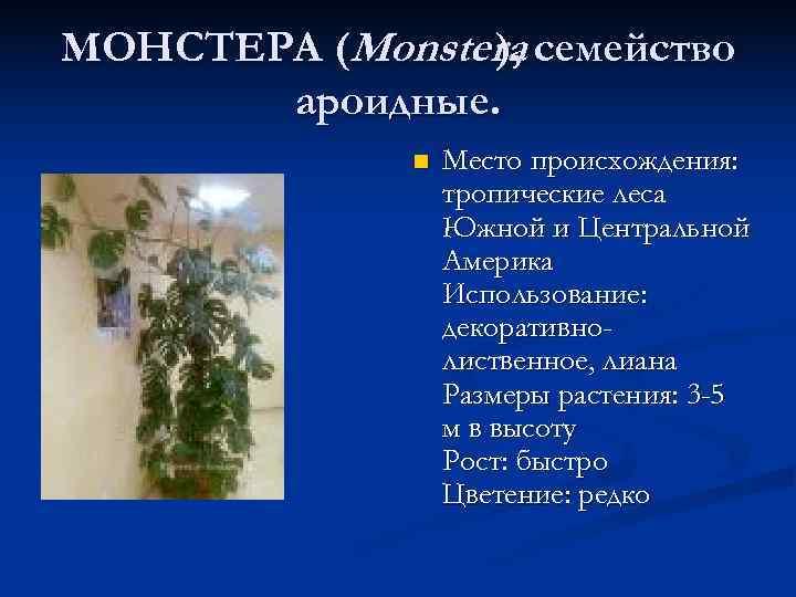 МОНСТЕРА (Monstera семейство   ),   ароидные.    n