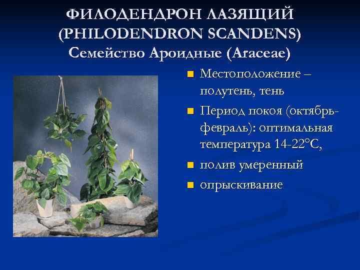 ФИЛОДЕНДРОН ЛАЗЯЩИЙ (PHILODENDRON SCANDENS) Семейство Ароидные (Araceae)    n  Местоположение