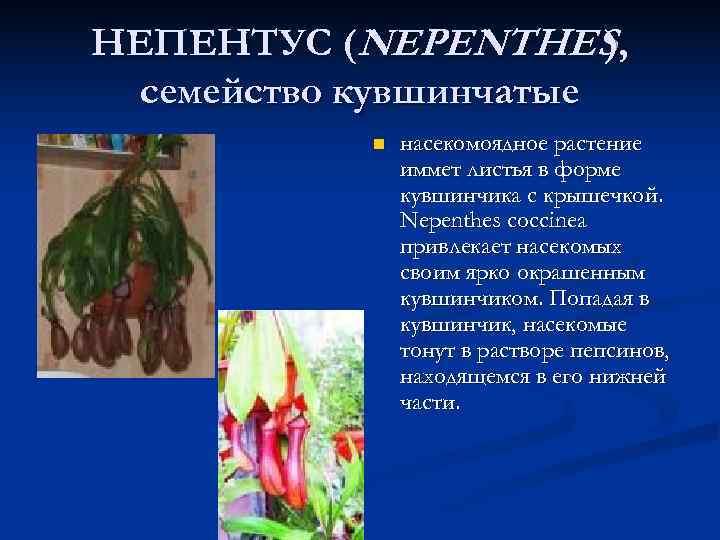 НЕПЕНТУС (NEPENTHES ),  семейство кувшинчатые   n  насекомоядное растение