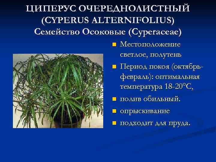 ЦИПЕРУС ОЧЕРЕДНОЛИСТНЫЙ  (CYPERUS ALTERNIFOLIUS) Семейство Осоковые (Cyperaceae)   n  Местоположение