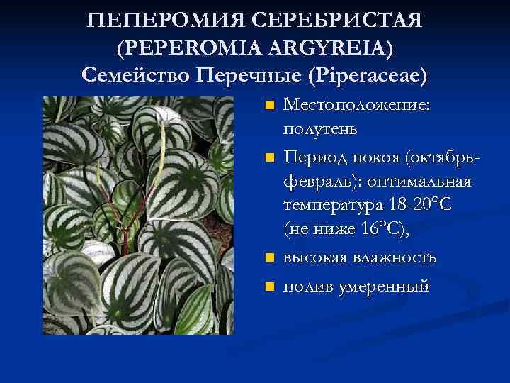 ПЕПЕРОМИЯ СЕРЕБРИСТАЯ  (PEPEROMIA ARGYREIA) Семейство Перечные (Piperaceae)   n  Местоположение: