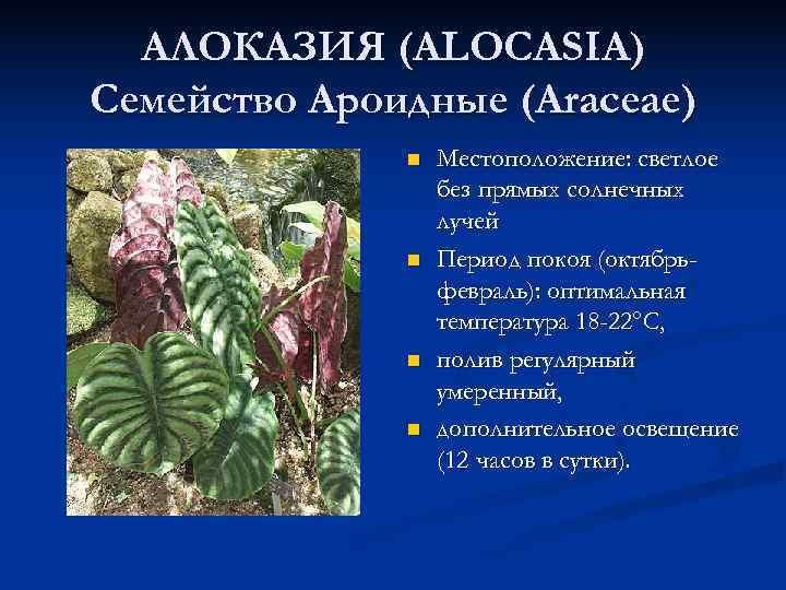 АЛОКАЗИЯ (ALOCASIA) Семейство Ароидные (Araceae)    n  Местоположение: светлое