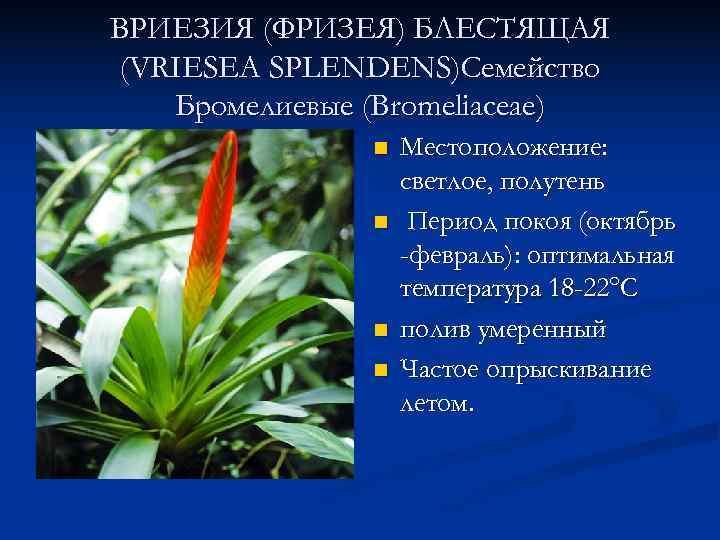 ВРИЕЗИЯ (ФРИЗЕЯ) БЛЕСТЯЩАЯ (VRIESEA SPLENDENS)Семейство  Бромелиевые (Bromeliaceae)    n  Местоположение: