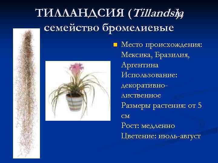 ТИЛЛАНДСИЯ (Tillandsia ),  семейство бромелиевые   n  Место происхождения: