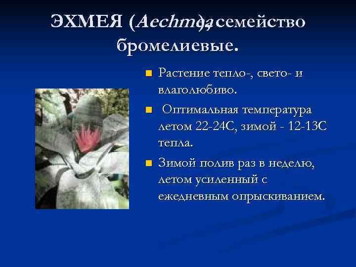 ЭХМЕЯ (Aechmea семейство   ),  бромелиевые.   n  Растение тепло-,
