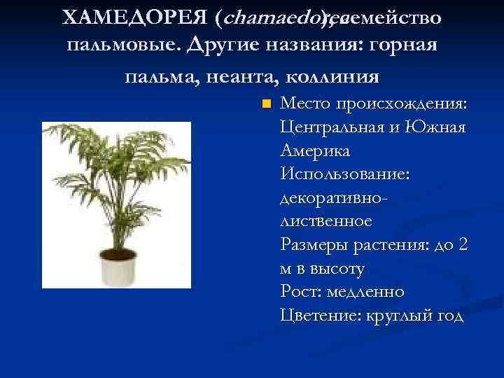 ХАМЕДОРЕЯ (chamaedorea ), семейство пальмовые. Другие названия: горная пальма, неанта, коллиния