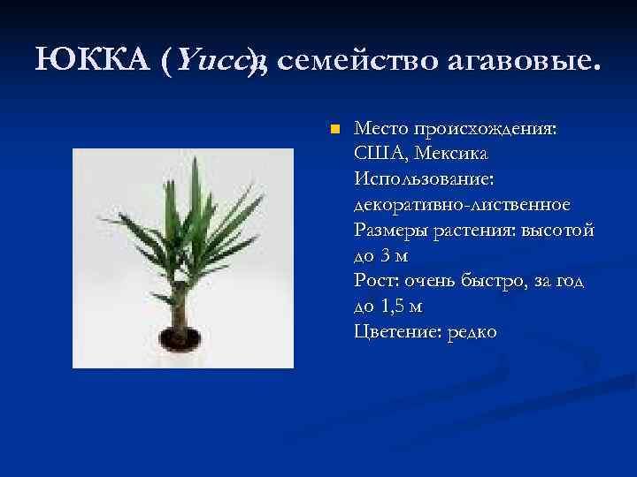 ЮККА (Yucca, семейство агавовые.  ),  )   n  Место происхождения:
