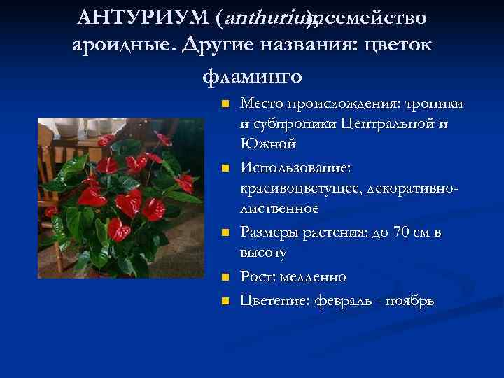 АНТУРИУМ (anthurium семейство     ), ароидные. Другие названия: цветок  фламинго