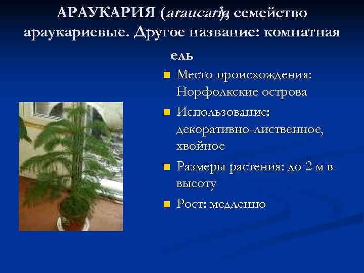 АРАУКАРИЯ (araucaria, семейство     ),