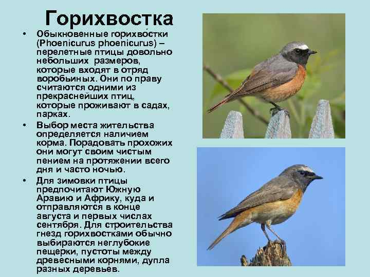 Горихвостка •  Обыкновенные горихво стки (Phoenicurus phoenicurus) – перелетные птицы довольно небольших