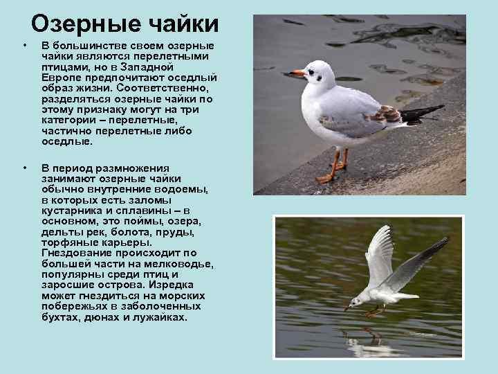 Озерные чайки •  В большинстве своем озерные чайки являются перелетными птицами,