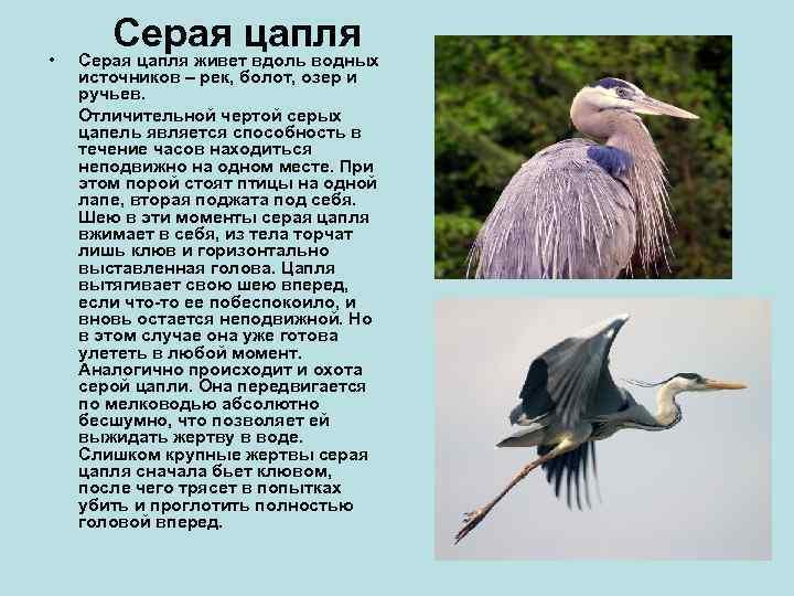 •   Серая цапля живет вдоль водных источников – рек, болот, озер