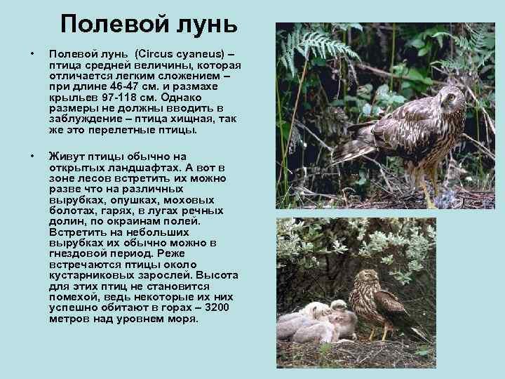 Полевой лунь •  Полевой лунь (Circus cyaneus) – птица средней величины, которая