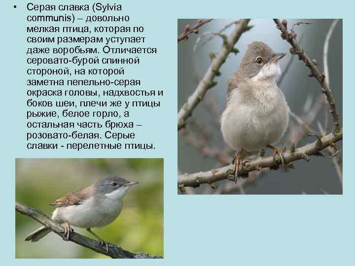 • Серая славка (Sylvia  communis) – довольно  мелкая птица, которая по
