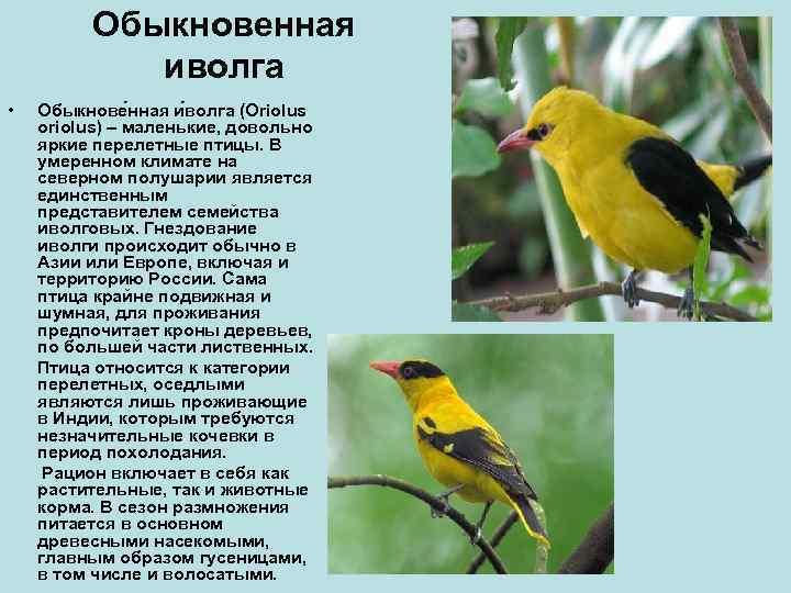Обыкновенная   иволга •  Обыкнове нная и волга (Oriolus