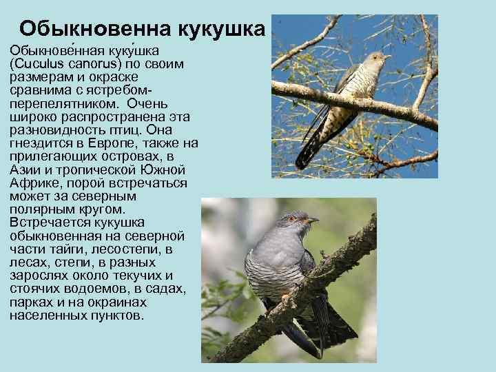Обыкновенна кукушка Обыкнове нная куку шка (Cuculus canorus) по своим размерам и окраске