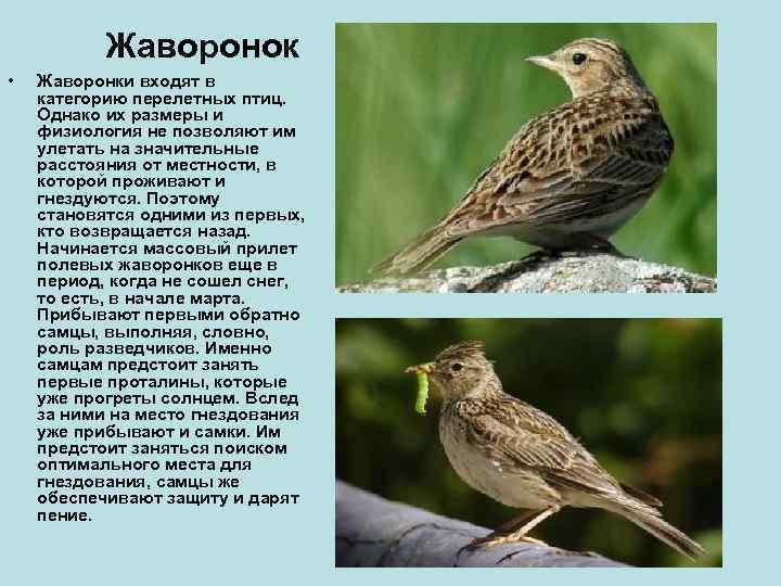 Жаворонок •  Жаворонки входят в категорию перелетных птиц. Однако их размеры