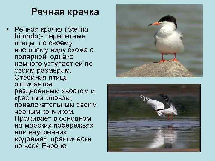 Речная крачка • Речная крачка (Sterna  hirundo)- перелетные  птицы, по своему