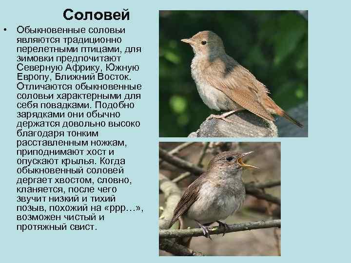 Соловей • Обыкновенные соловьи  являются традиционно  перелетными птицами, для
