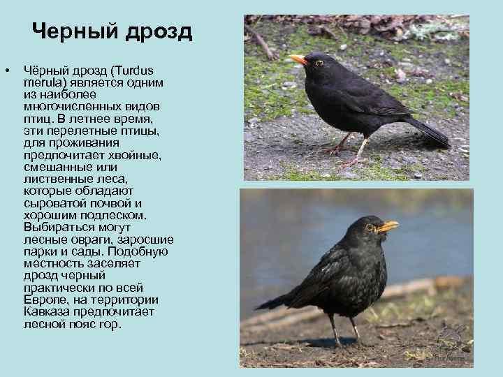 Черный дрозд •  Чёрный дрозд (Turdus merula) является одним из наиболее многочисленных