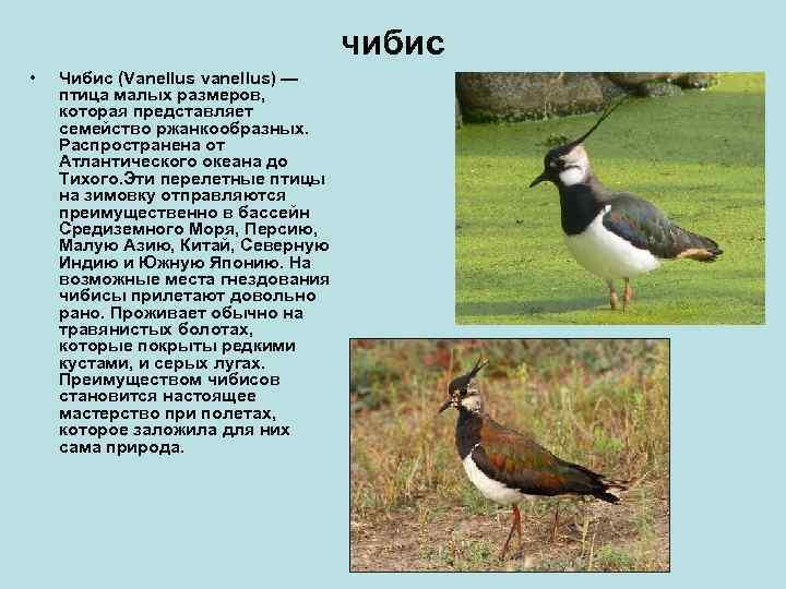 чибис •  Чибис (Vanellus vanellus) —